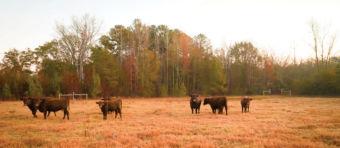cattle outside