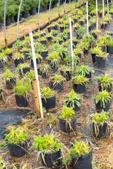 Multiple plants in pots
