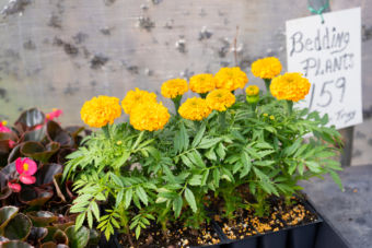 Small yellow flowers, Bedding plants 159